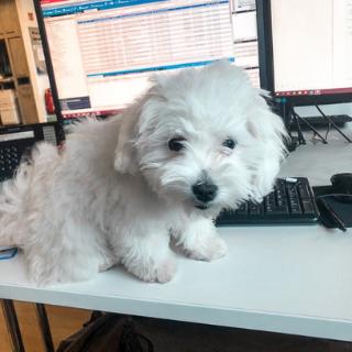 Bürohund Fine am Arbeitsplatz, sitzend auf dem Tisch und in die Kamera schauend