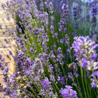 Lila Lavendel an der setcon Terrasse mit einer Biene an den Blueten